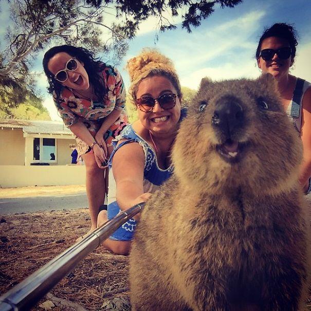 Quokka, l'animale da selfie più bello del web