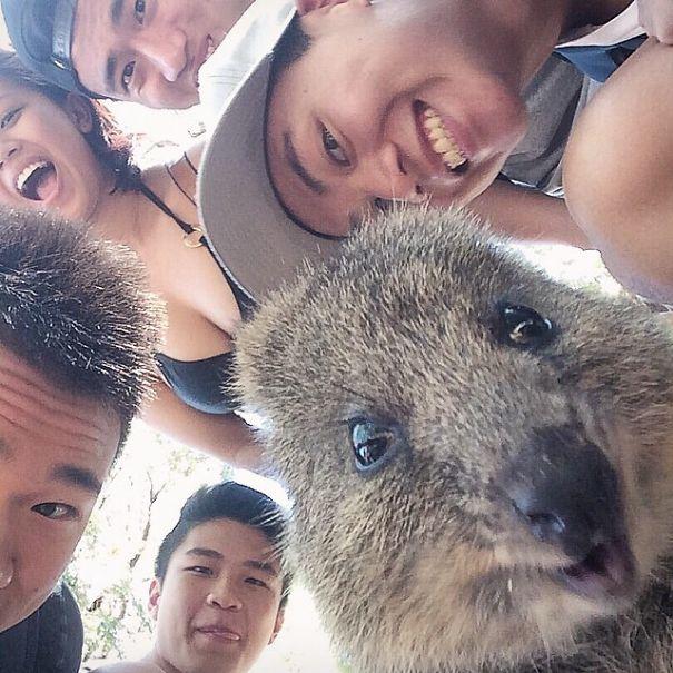 quokka-selfie-trend-cute-rodent-australia-4__605